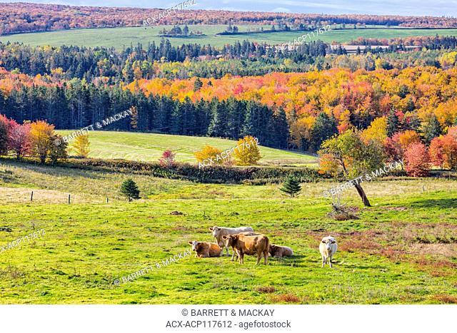 Cattle grazing, Fredericton, Prince Edward Island, Canada