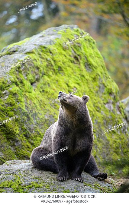Brown Bear, Ursus arctos, Bavaria, Germany
