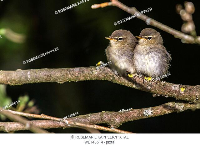 Germany, saarland, homburg - Two common whitethroats on a branch
