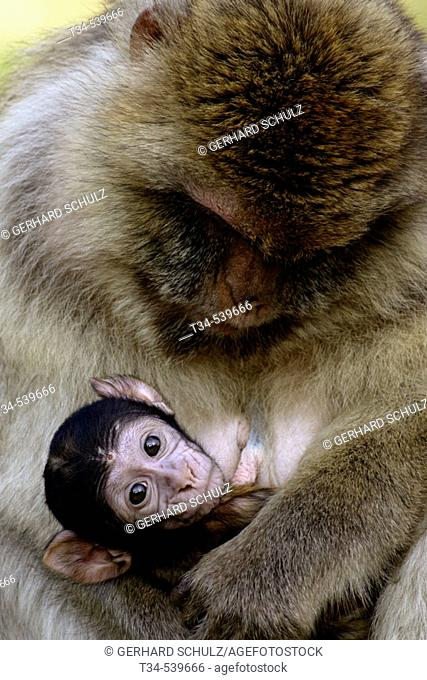 Barbary Macaque with Baby (Macaca sylvana)