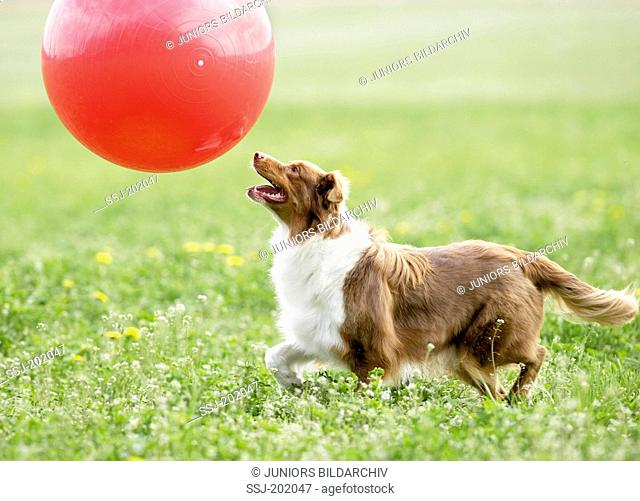 Australian Shepherd. Adult dog playing Treibball. Germany