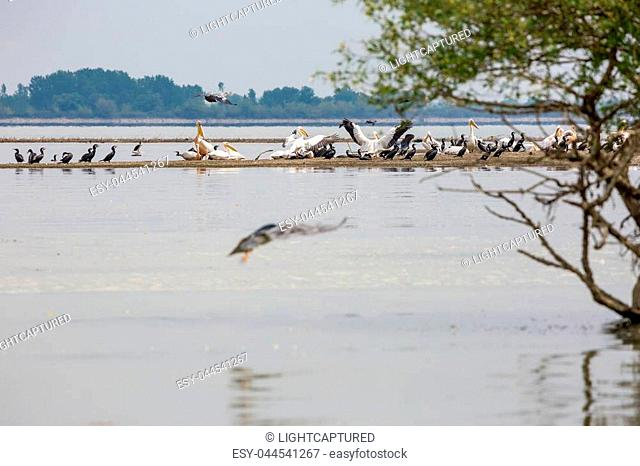 Pelican and cormorant colonies coexisting in peace in the waters of lake Kerkini, Northern Greece. Grey heron bird is flying over them