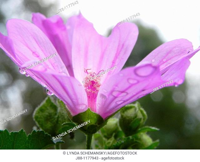 Malva sylvestris flower with rain drops  Mallow, French Hollyhock