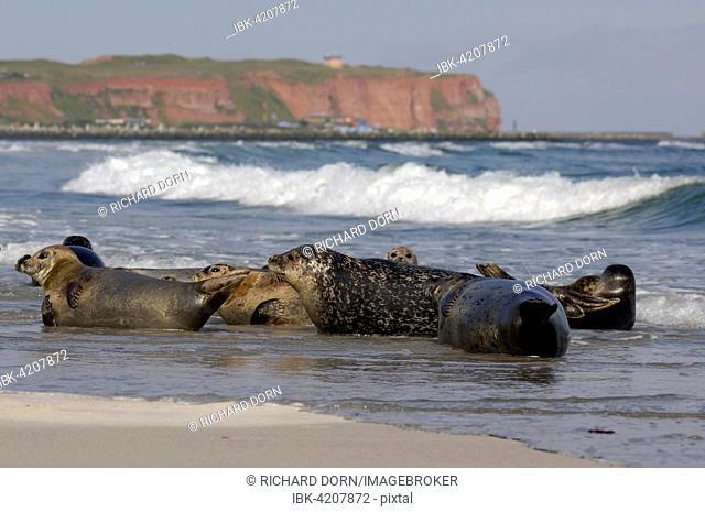 Grey seals (Halichoerus grypus) in water in front of rocky coast, Heligoland, Schleswig-Holstein, Germany