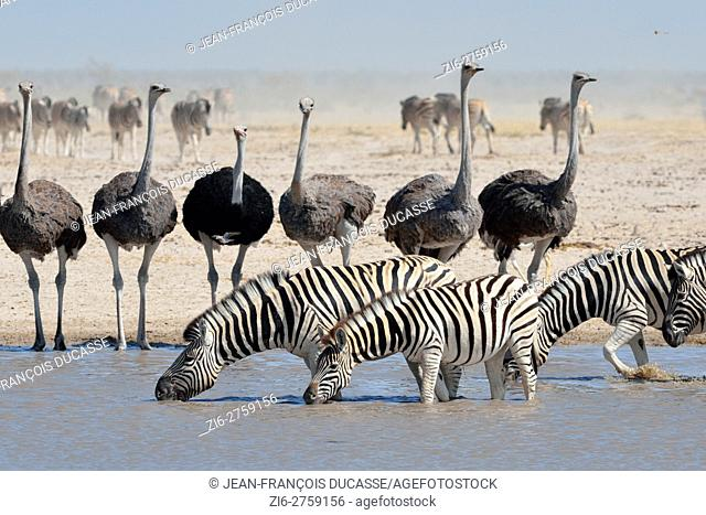 Burchell's zebras (Equus quagga burchellii) drinking and common ostriches (Struthio camelus), at a waterhole, herd of burchell's zebras behind