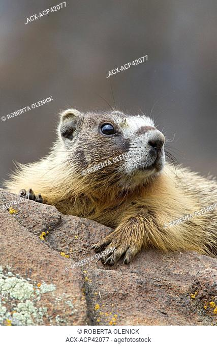 Yellow-bellied marmot Marmota flaviventris, near Tunkwa Provincial Park, British Columbia, Canada
