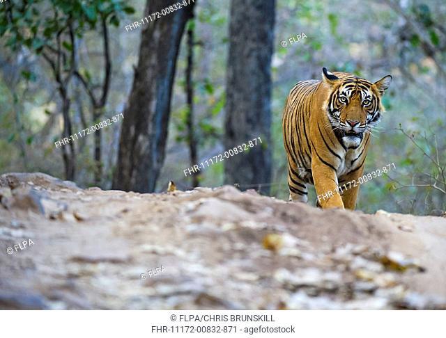 Indian Tiger (Panthera tigris tigris) adult, walking, Ranthambore N.P., Rajasthan, India, March