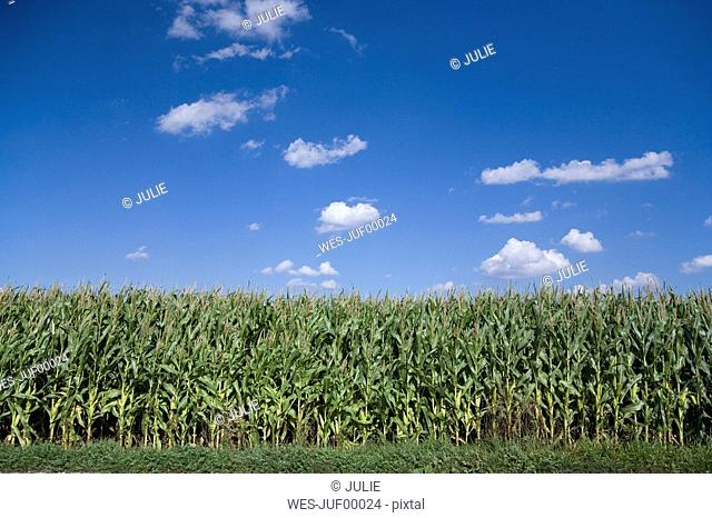 Germany, Bavaria, maize field