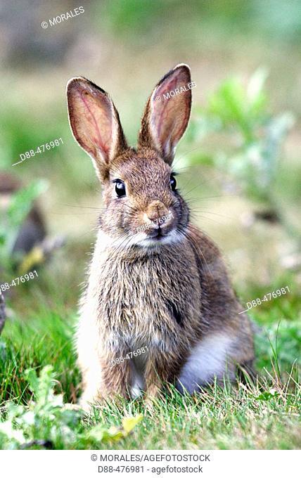 Rabbit. (Oryctolagus cuniculus)