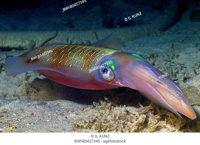 bigfin reef squid (Sepioteuthis lessoniana), swims above sea bottom, Egypt, Red Sea, Hurghada