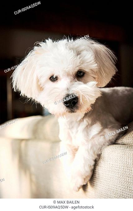 Portrait of coton de tulear dog lying on back of sofa