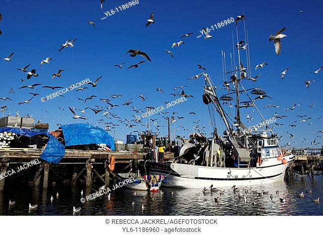 North America, USA, California, Moss Landing, Elkhorn Slough  Gulls and pelicans surrounding a fishing boat docked in Moss Landing