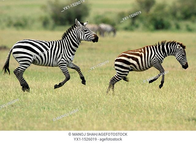 Two Male Burchell's Zebra, Masai Mara National Reserve, Kenya