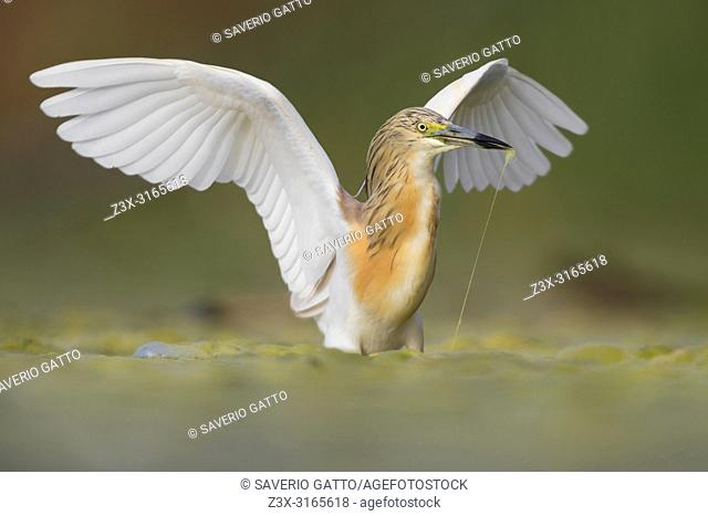Squacco Heron (Ardeola ralloides), adult with spread wings