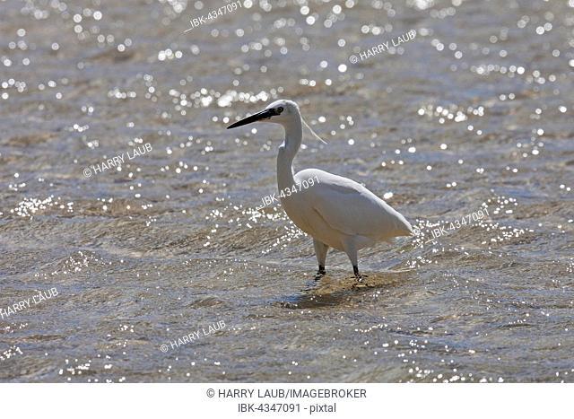 Little Egret (Egretta garzetta) standing in water, Fuerteventura, Canary Islands, Spain