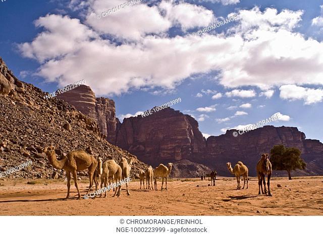 Camesl, Desert, Wadi Rum, Jordan, Southwest Asia