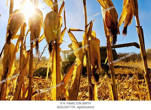 Agriculture - View through mature corn stalks of a John Deere combine harvesting grain corn in Autumn / near Nerstrand, Minnesota, USA