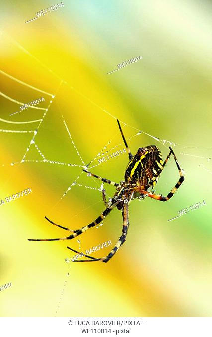 Argiope bruennichi - Wasp spider moving on his web waiting for prey