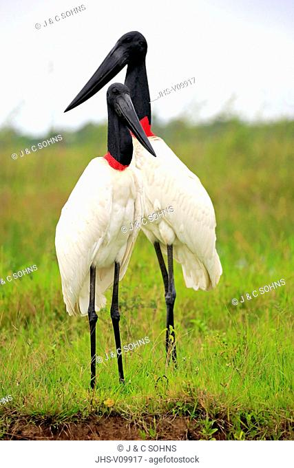 Jabiru, (Jabiru mycteria), couple on meadow, Pantanal, Mato Grosso, Brazil, South America