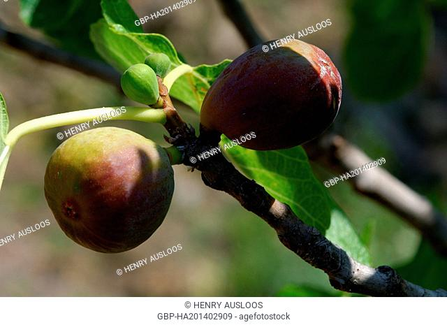 Fig ripening, Ficus carica, Southern France Figue comestible