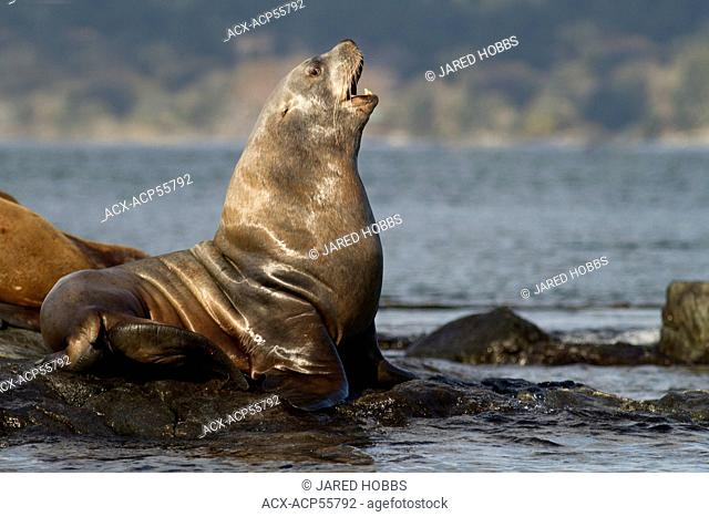California sea lion, Zalophus californianus, Race Rocks, Victoria, BC, Canada