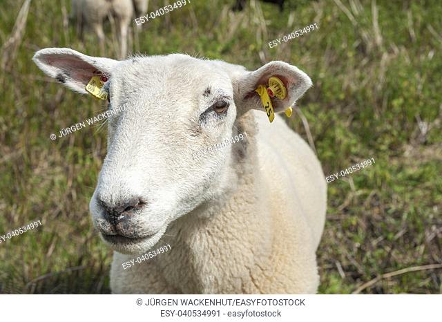 Domestic sheep in the salt meadows near Hohwachter Bucht bay, Behrensdorf, Baltic Sea, Schleswig-Holstein, Germany, Europe