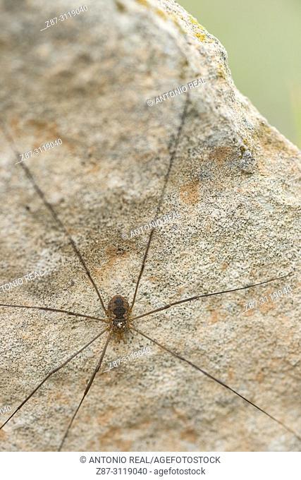 Longbodied cellar spider (Pholcus phalangioides). Almansa. Albacete. Spain