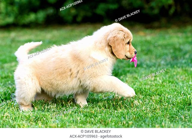 An 8 week old Golden Retriever puppy with a baby soother in its mouth