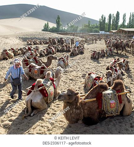 Camels sitting on the sand at Singing Sand mountain; Jiuquan, Gansu, China
