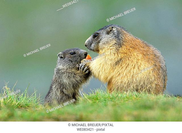 Alpine marmot, Adult with young, Hohe Tauern National Park, Austria