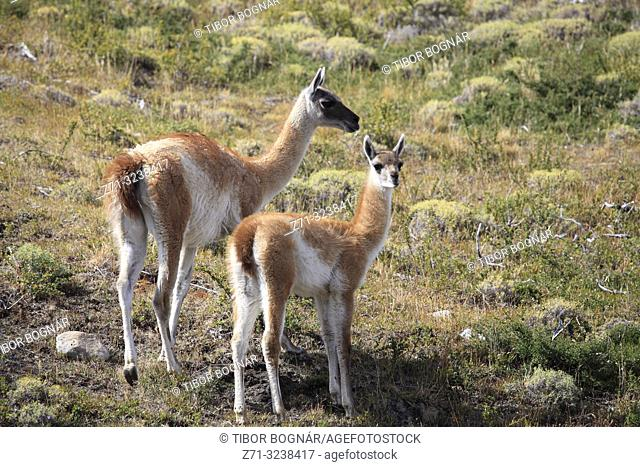 Chile, Magallanes, Torres del Paine, national park, guanacos, lama guanicoe, female and young chulengo,