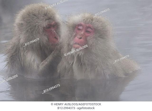 Japanese macaque or snow japanese monkey, portrait (Macaca fuscata),Japan