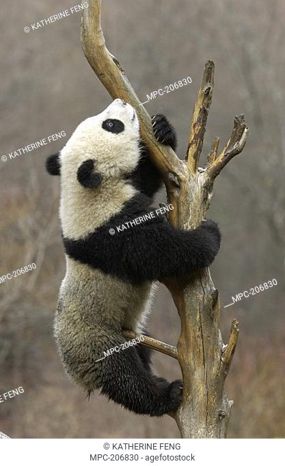 Giant Panda Ailuropoda melanoleuca, endangered, cub climbing a tree at the China Conservation and Research Center for the Giant Panda, Wolong Nature Reserve