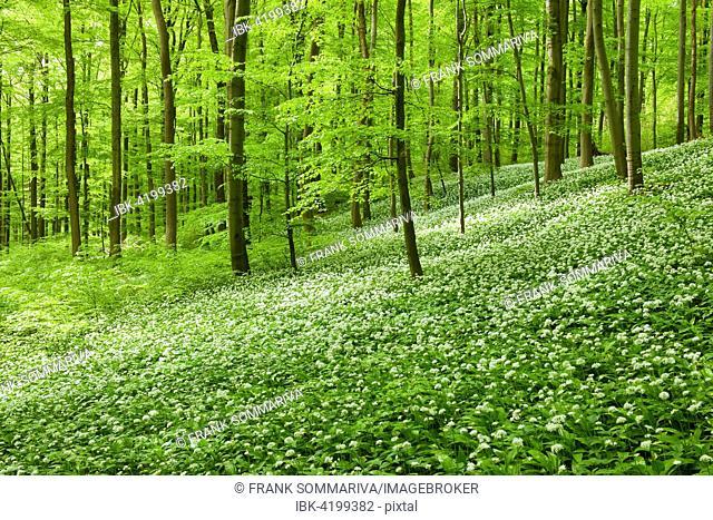 Common Beech forest (Fagus sylvatica) with flowering Wild Garlic (Allium ursinum), Hainich National Park, Thuringia, Germany