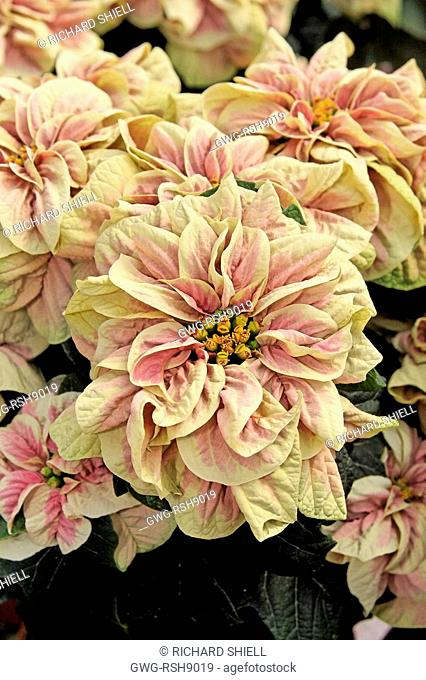 EUPHORBIA PULCHERRIMA WINTER ROSE EARLY MARBLE POINSETTIA