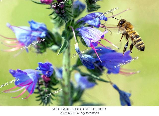 Honey Bee on Echium vulgare, viper's bugloss and blueweed