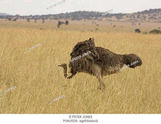 Female ostrich grazing in savannah grasslands of Botswana