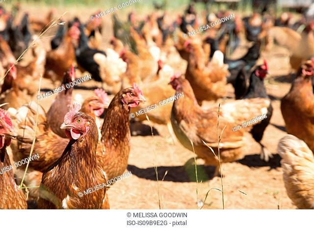 Free range golden comet and black star hens on organic farm