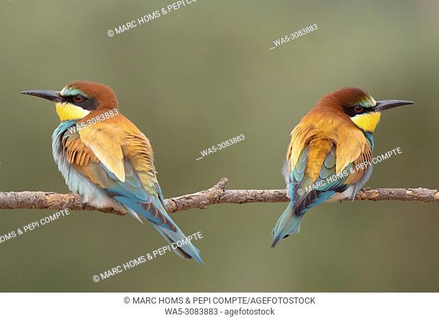 European Bee Eaters pair posed on a trunk seeing oposite sides in Garrotxa, catalonia, Spain