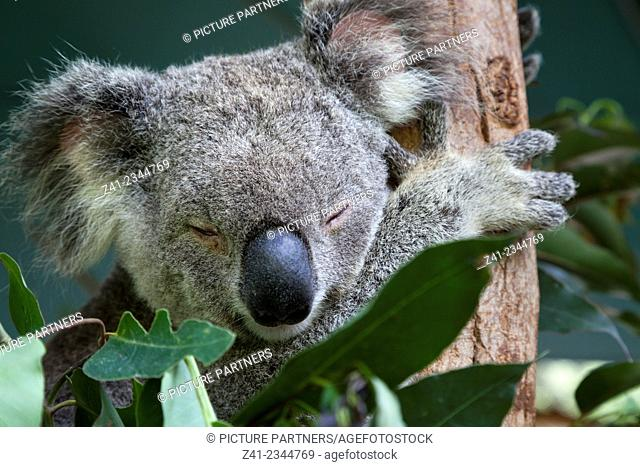 Koala sleeping in eucalyptus tree, Queensland, Australia