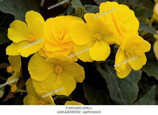 Go-Go Yellow Tuberous Begonia (Begonia Tuberhybrida)
