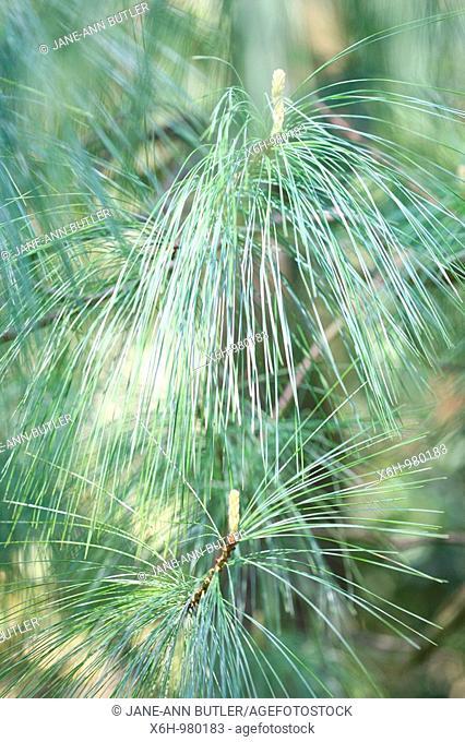 Pinus Wallichiania Blue Hued Bhutan Pine Tree Cones