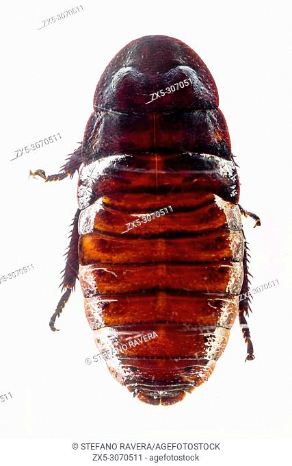 Madagascar Hissing Cockroach in resin