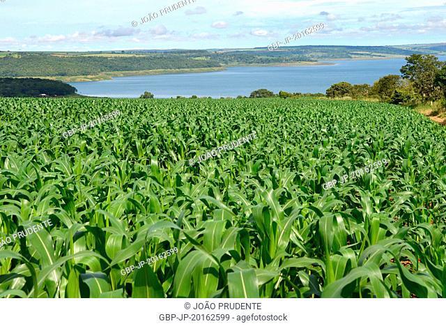 Corn planting in the rural area at the bottom of the Araguari river basin, Nova Ponte, Minas Gerais, Brazil, 03.2016