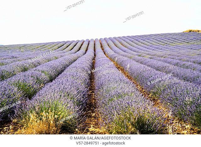 Lavender field. La Alcarria, Guadalajara province, Castilla La Mancha, Spain