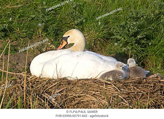 Mute Swan Cygnus olor adult female with two cygnets, sitting on nest at dyke bank, Suffolk, England, may