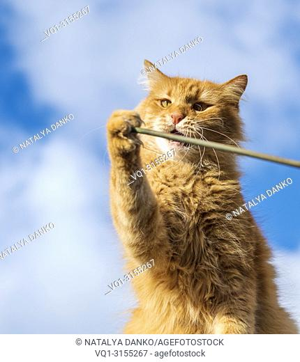 adult red cat playing with a stick, close up