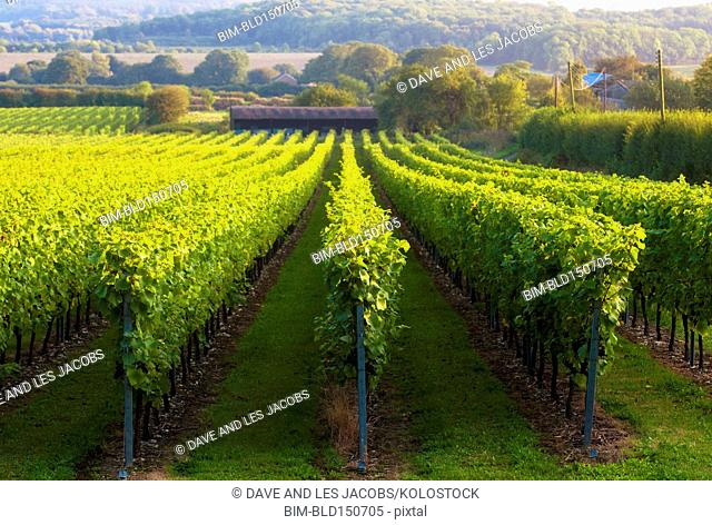 Vineyard on rural hillside