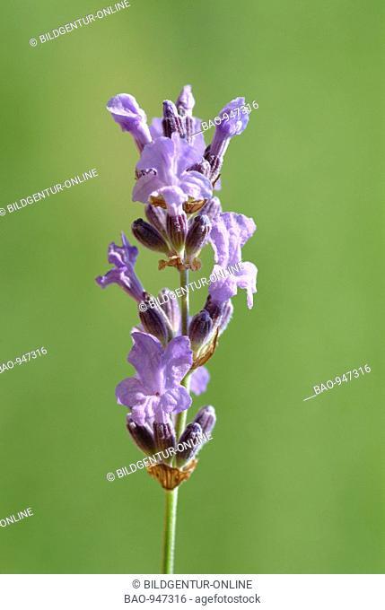 Blooming medicinal plant Lavendel, Lavender, lavendula officinalis, lavendula, lavendula vulgaris, lanvendula angustifolia