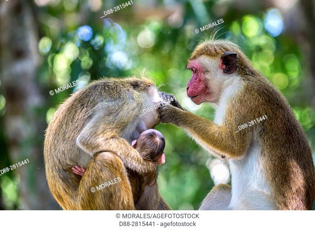 Sri Lanka, Yala national park, Toque macaque (Macaca sinica), family, grooming